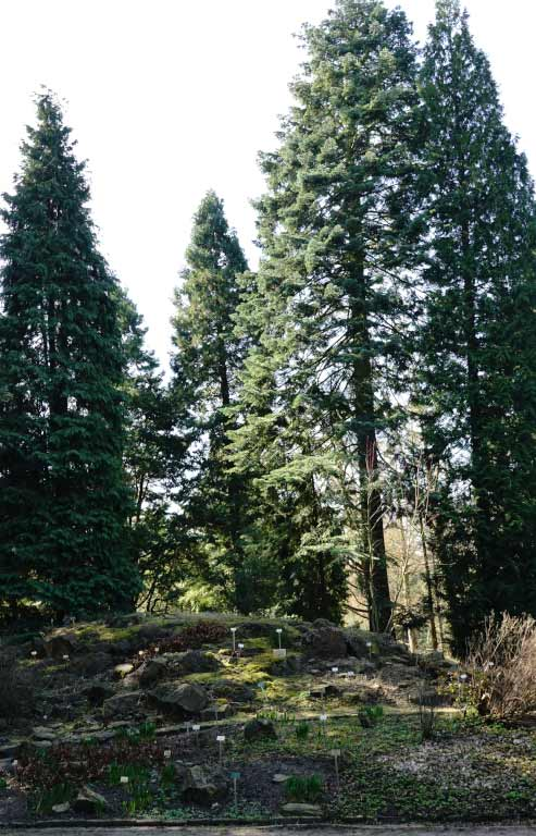 Conifers of the Klamath Region